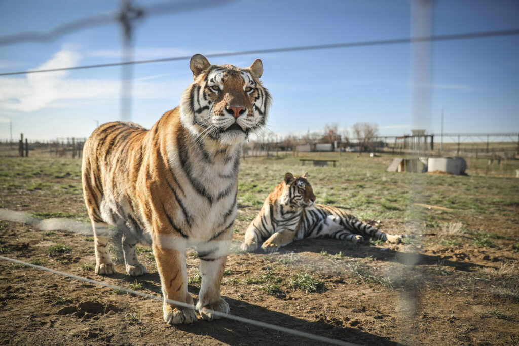 KEENESBURG, CO - APRIL 05: A pair of the 39 tigers rescued in 2017 from Joe Exotic's G.W. Exotic Animal Park relax at the Wild Animal Sanctuary on April 5, 2020 in Keenesburg, Colorado. Exotic, star of the wildly successful Netflix docu-series Tiger King, is currently in prison for a murder-for-hire plot and surrendered some of his animals to the Wild Animal Sanctuary. The Sanctuary cares for some 550 animals on two expansive reserves in Colorado.